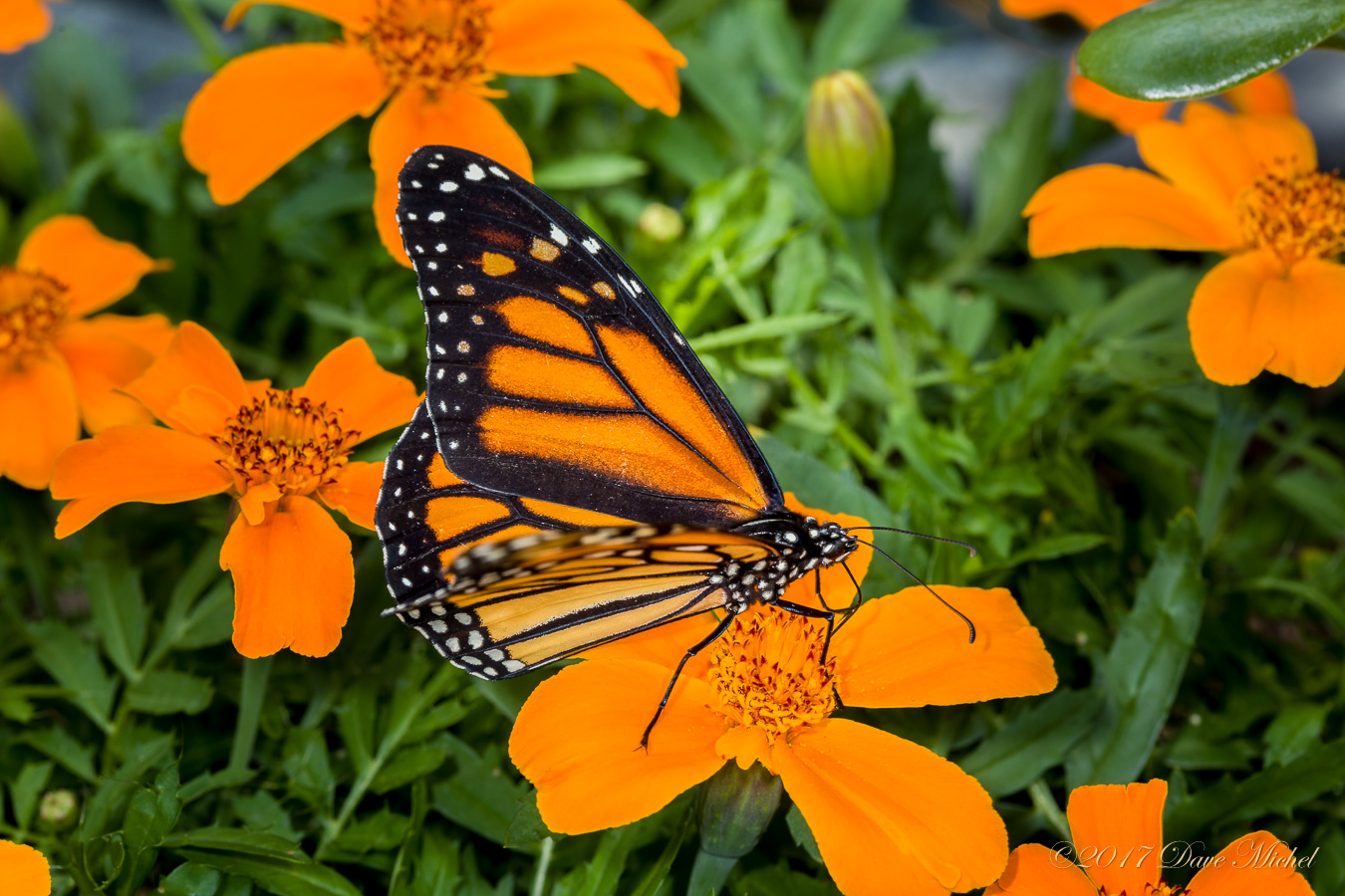Dow Gardens Blooming Butterflies 2017 Dave Michel Photography