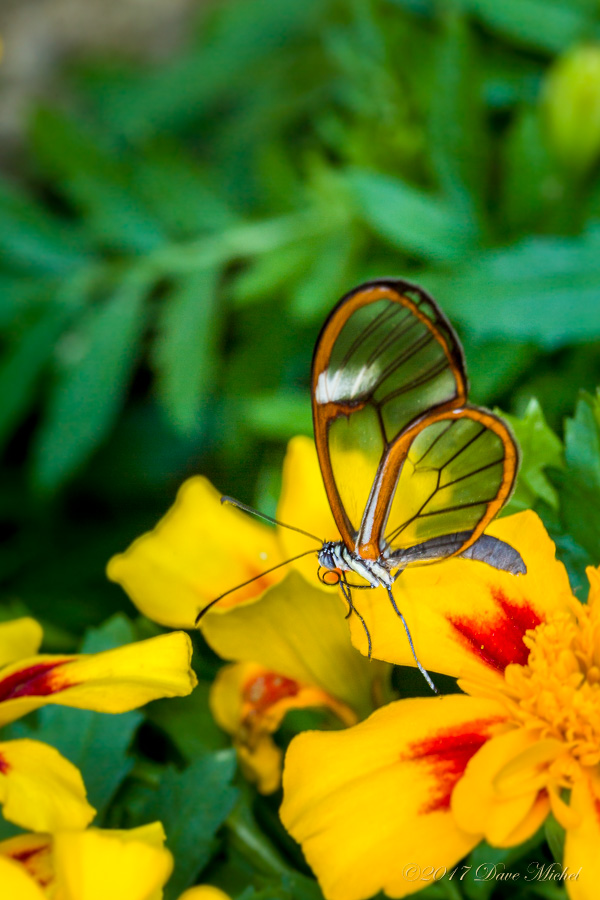 Dave michel photography dave michel photography - Dow gardens butterfly house 2017 ...